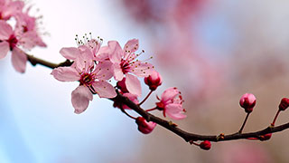 Japanese Cherry Blossom branch.
