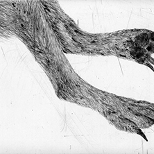 "Kiki Smith ""Jewel"" (detail), aquatint and etching Hahnemühle bright white paper, 14 in. x 17 in., 2004"